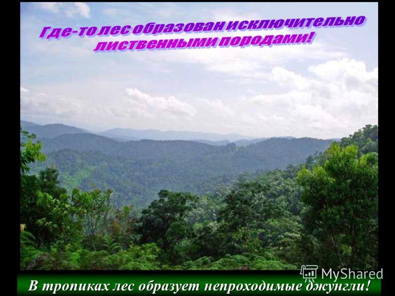 В тропиках лес образует непроходимые джунгли!