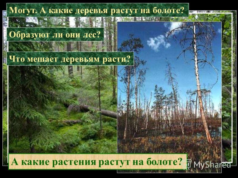 Могут. А какие деревья растут на болоте? Образуют ли они лес? Что мешает деревьям расти? А какие растения растут на болоте?