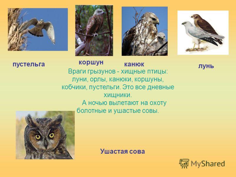 Враги грызунов - хищные птицы: луни, орлы, канюки, коршуны, кобчики, пустельги. Это все дневные хищники. А ночью вылетают на охоту болотные и ушастые совы. пустельга коршун канюк лунь Ушастая сова