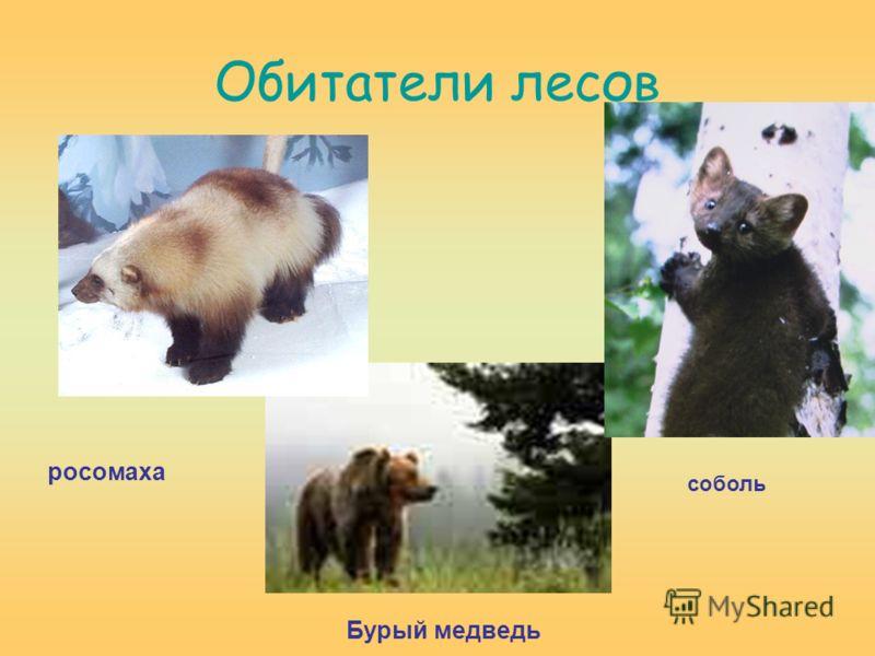Обитатели лесов росомаха Бурый медведь соболь