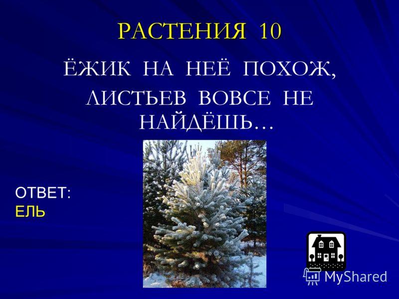 РАСТЕНИЯ 10 ЁЖИК НА НЕЁ ПОХОЖ, ЛИСТЬЕВ ВОВСЕ НЕ НАЙДЁШЬ… ОТВЕТ: ЕЛЬ