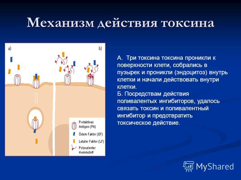 Механизм действия токсина А. Три токсина токсина проникли к поверхности клети, собрались в пузырек и проникли (эндоцитоз) внутрь клетки и начали действовать внутри клетки. Б. Посредствам действия поливалентых ингибиторов, удалось связать токсин и пол