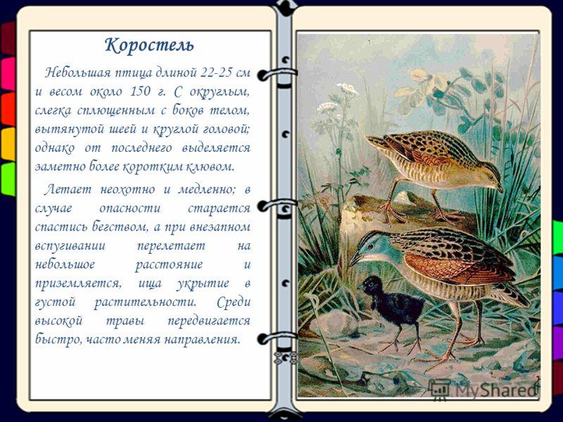 Коростель Небольшая птица длиной 22-25 см и весом около 150 г. С округлым, слегка сплющенным с боков телом, вытянутой шеей и круглой головой; однако от последнего выделяется заметно более коротким клювом. Летает неохотно и медленно; в случае опасност