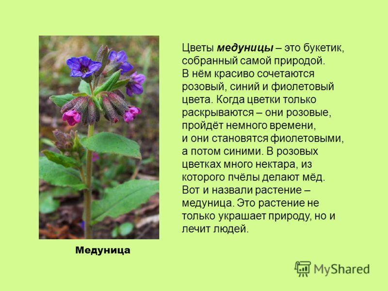 Медуница Цветы медуницы – это букетик, собранный самой природой. В нём красиво сочетаются розовый, синий и фиолетовый цвета. Когда цветки только раскрываются – они розовые, пройдёт немного времени, и они становятся фиолетовыми, а потом синими. В розо