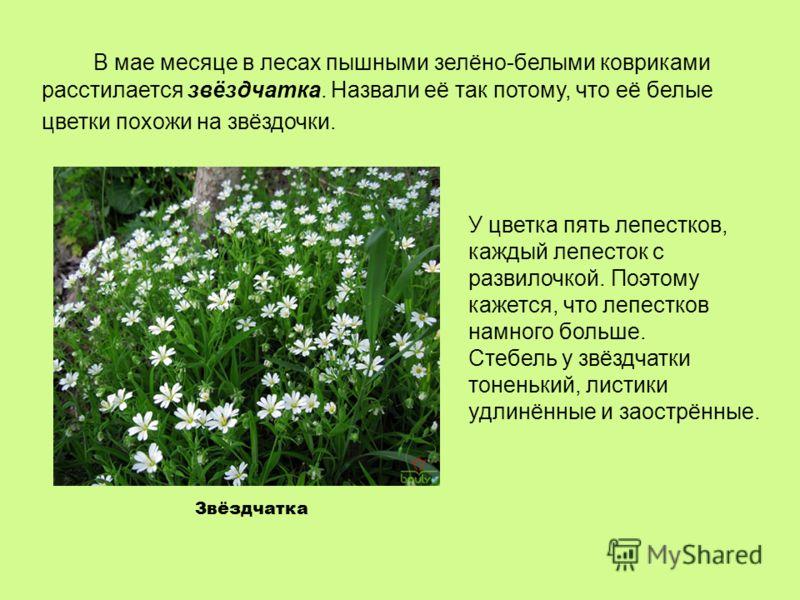 Звёздчатка В мае месяце в лесах пышными зелёно-белыми ковриками расстилается звёздчатка. Назвали её так потому, что её белые цветки похожи на звёздочки. У цветка пять лепестков, каждый лепесток с развилочкой. Поэтому кажется, что лепестков намного бо