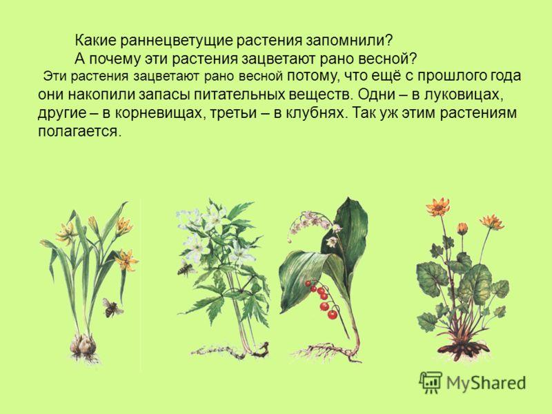 Какие раннецветущие растения запомнили? А почему эти растения зацветают рано весной? Эти растения зацветают рано весной потому, что ещё с прошлого года они накопили запасы питательных веществ. Одни – в луковицах, другие – в корневищах, третьи – в клу