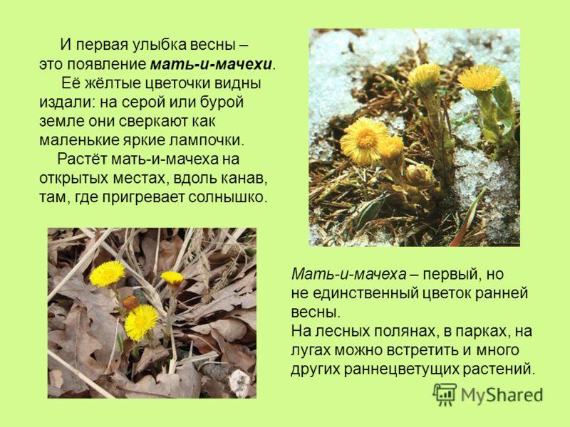 И первая улыбка весны – это появление мать-и-мачехи. Её жёлтые цветочки видны издали: на серой или бурой земле они сверкают как маленькие яркие лампочки. Растёт мать-и-мачеха на открытых местах, вдоль канав, там, где пригревает солнышко. Мать-и-мачех