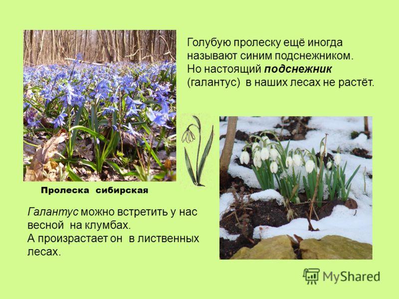 Голубую пролеску ещё иногда называют синим подснежником. Но настоящий подснежник (галантус) в наших лесах не растёт. Галантус можно встретить у нас весной на клумбах. А произрастает он в лиственных лесах. Пролеска сибирская