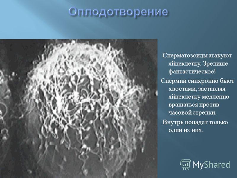 Сперматозоиды атакуют яйцеклетку. Зрелище фантастическое ! Спермии синхронно бьют хвостами, заставляя яйцеклетку медленно вращаться против часовой стрелки. Внутрь попадет только один из них.