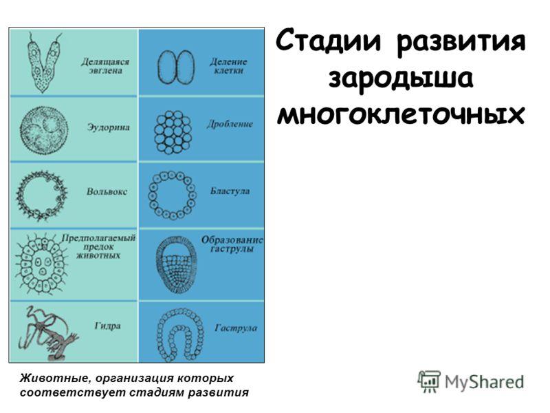 Стадии развития зародыша многоклеточных Животные, организация которых соответствует стадиям развития