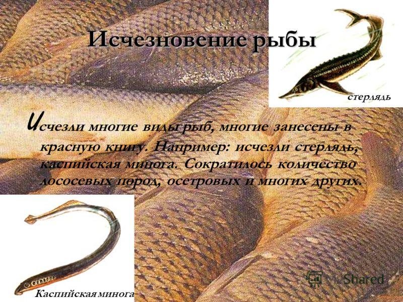 Исчезновение рыбы И счезли многие виды рыб, многие занесены в красную книгу. Например: исчезли стерлядь, каспийская минога. Сократилось количество лососевых пород, осетровых и многих других. Каспийская минога стерлядь