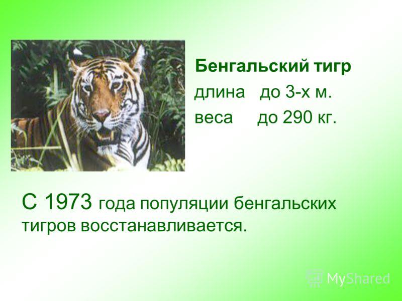 С 1973 года популяции бенгальских тигров восстанавливается. Бенгальский тигр длина до 3-х м. веса до 290 кг.