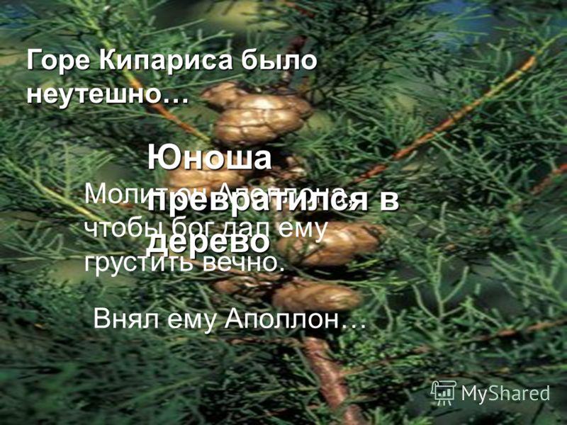 Горе Кипариса было неутешно… Молит он Аполлона, чтобы бог дал ему грустить вечно. Внял ему Аполлон… Юноша превратился в дерево