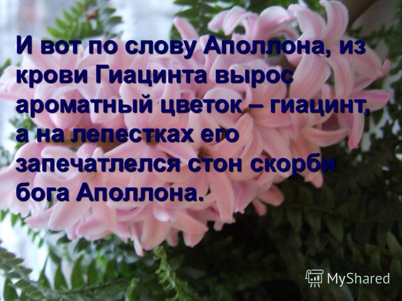 И вот по слову Аполлона, из крови Гиацинта вырос ароматный цветок – гиацинт, а на лепестках его запечатлелся стон скорби бога Аполлона.