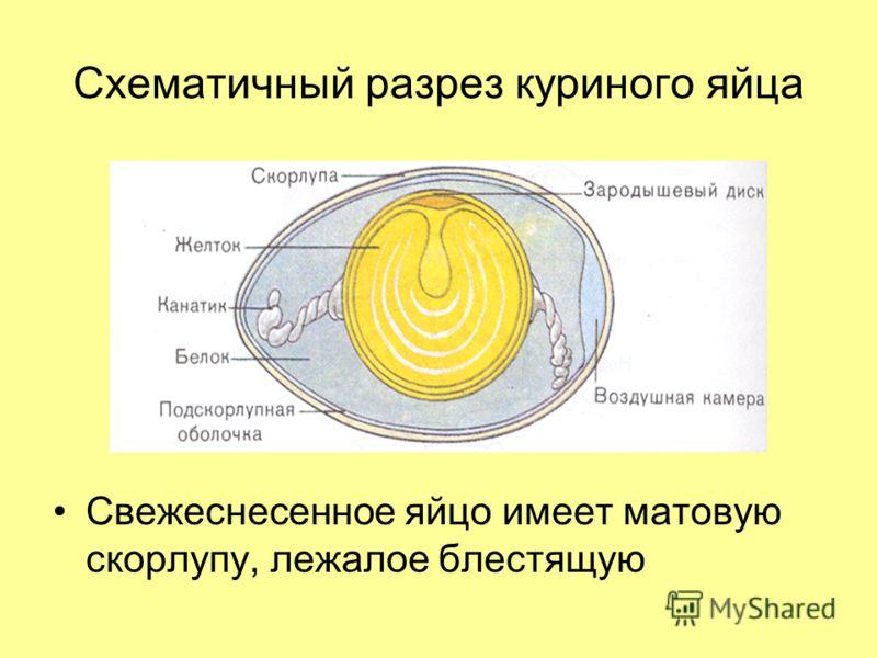 разрез куриного яйца