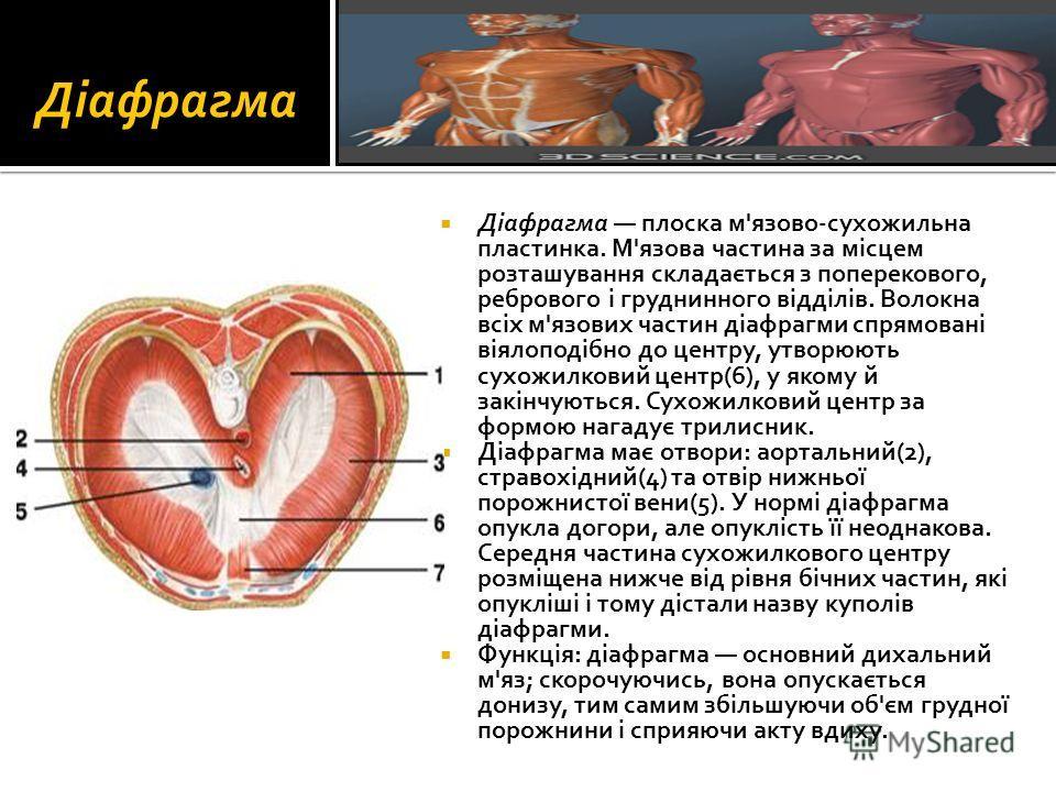 Діафрагма Діафрагма плоска м'язово-сухожильна пластинка. М'язова частина за місцем розташування складається з поперекового, ребрового і груднинного відділів. Волокна всіх м'язових частин діафрагми спрямовані віялоподібно до центру, утворюють сухожилк