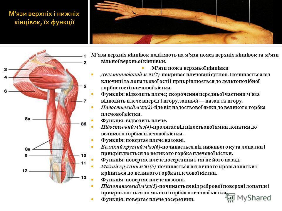 М'язи верхніх і нижніх кінцівок, їх функції М'язи верхніх кінцівок поділяють на м'язи пояса верхніх кінцівок та м'язи вільної верхньої кінцівки. М'язи пояса верхньої кінцівки Дельтоподібний м'яз(7)-покриває плечовий суглоб. Починається від ключиці та