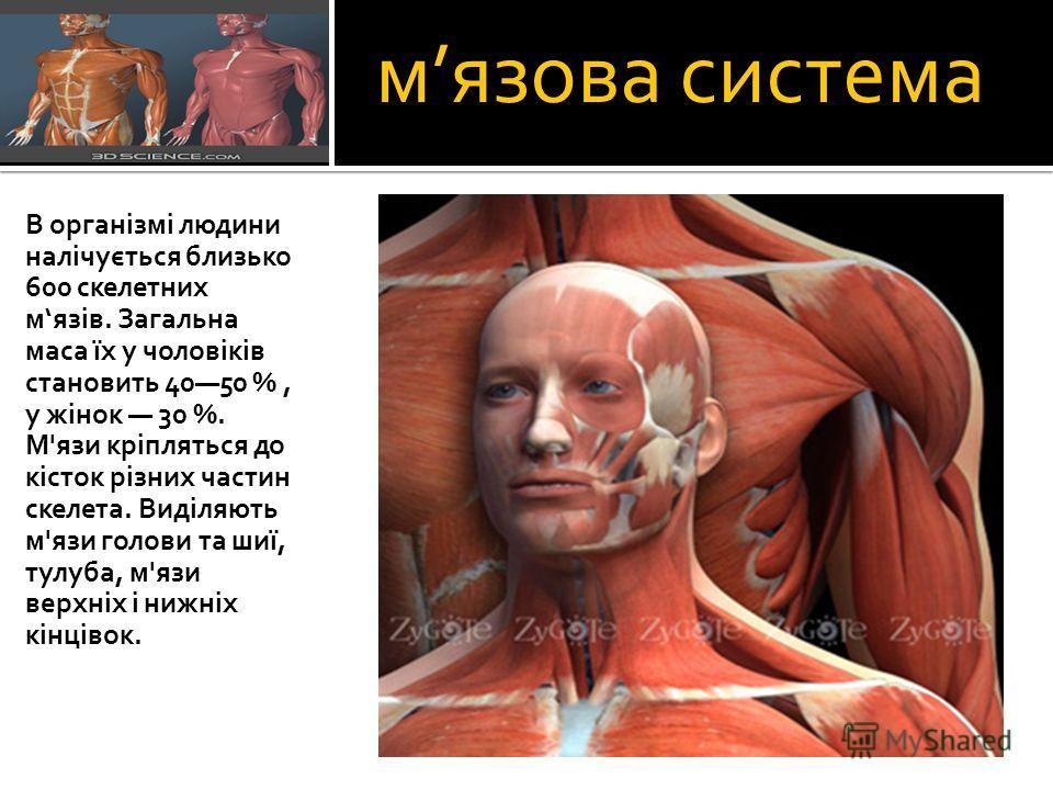 мязова система В організмі людини налічується близько 600 скелетних мязів. Загальна маса їх у чоловіків становить 4050 %, у жінок 30 %. М'язи кріпляться до кісток різних частин скелета. Виділяють м'язи голови та шиї, тулуба, м'язи верхніх і нижніх кі