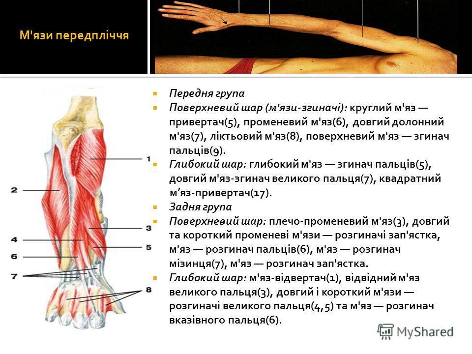 М'язи передпліччя Передня група Поверхневий шар (м'язи-згиначі): круглий м'яз привертач(5), променевий м'яз(6), довгий долонний м'яз(7), ліктьовий м'яз(8), поверхневий м'яз згинач пальців(9). Глибокий шар: глибокий м'яз згинач пальців(5), довгий м'яз