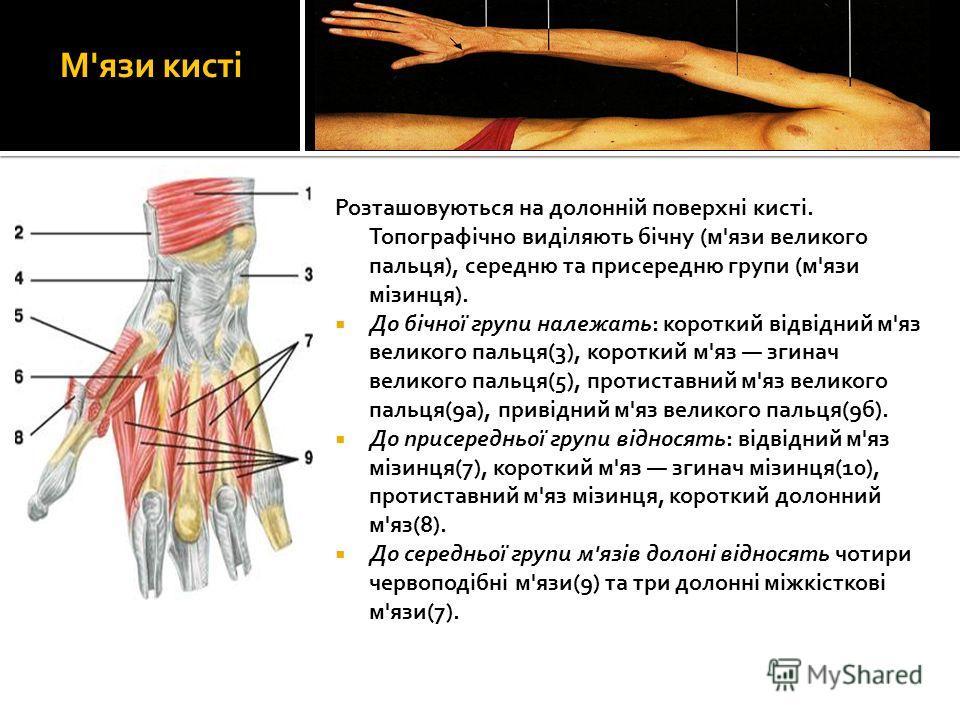 М'язи кисті Розташовуються на долонній поверхні кисті. Топографічно виділяють бічну (м'язи великого пальця), середню та присередню групи (м'язи мізинця). До бічної групи належать: короткий відвідний м'яз великого пальця(3), короткий м'яз згинач велик