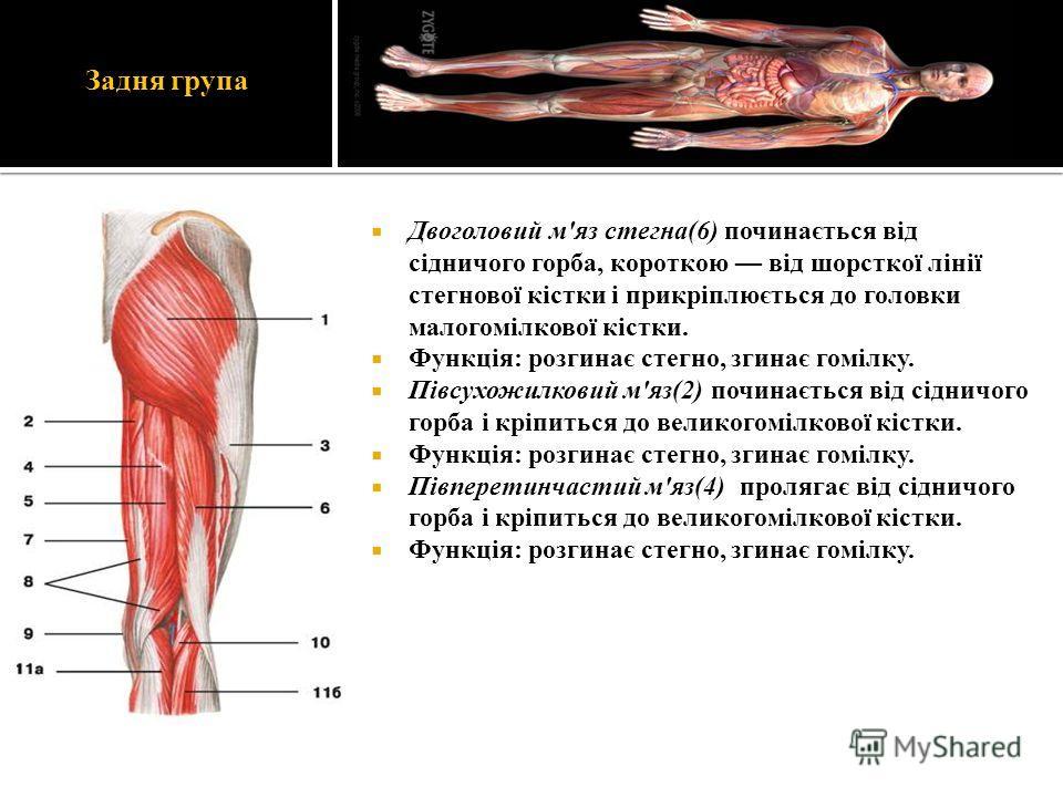 Задня група Двоголовий м'яз стегна(6) починається від сідничого горба, короткою від шорсткої лінії стегнової кістки і прикріплюється до головки малогомілкової кістки. Функція: розгинає стегно, згинає гомілку. Півсухожилковий м'яз(2) починається від с
