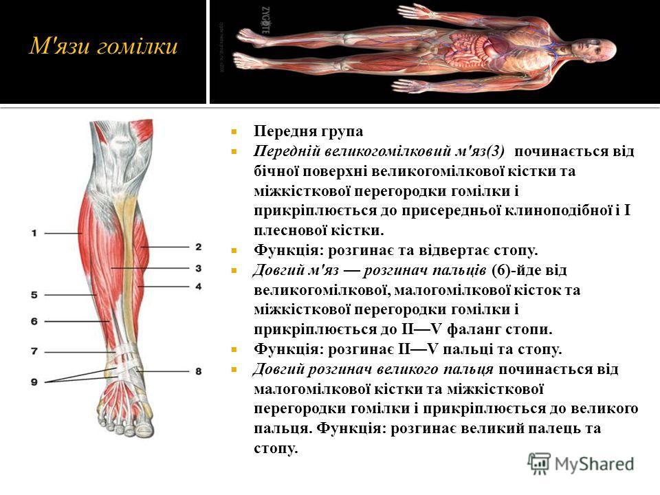 М'язи гомілки Передня група Передній великогомілковий м'яз(3) починається від бічної поверхні великогомілкової кістки та міжкісткової перегородки гомілки і прикріплюється до присередньої клиноподібної і І плеснової кістки. Функція: розгинає та відвер