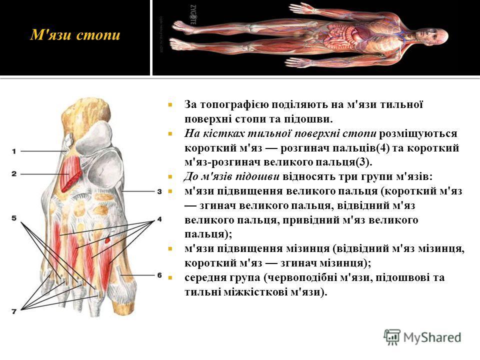 М'язи стопи За топографією поділяють на м'язи тильної поверхні стопи та підошви. На кістках тильної поверхні стопи розміщуються короткий м'яз розгинач пальців(4) та короткий м'яз-розгинач великого пальця(3). До м'язів підошви відносять три групи м'яз