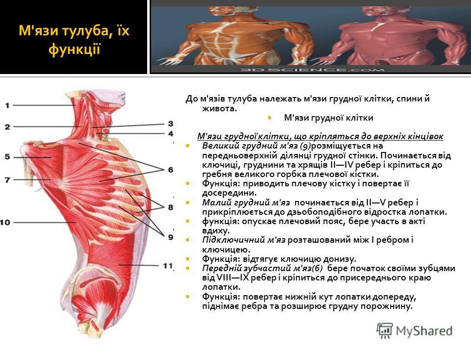 М'язи тулуба, їх функції До м'язів тулуба належать м'язи грудної клітки, спини й живота. М'язи грудної клітки М'язи грудної клітки, що кріпляться до верхніх кінцівок Великий грудний м'яз (9)розміщується на передньоверхній ділянці грудної стінки. Почи