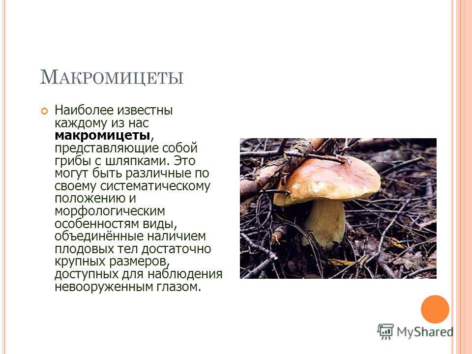 М АКРОМИЦЕТЫ Наиболее известны каждому из нас макромицеты, представляющие собой грибы с шляпками. Это могут быть различные по своему систематическому положению и морфологическим особенностям виды, объединённые наличием плодовых тел достаточно крупных