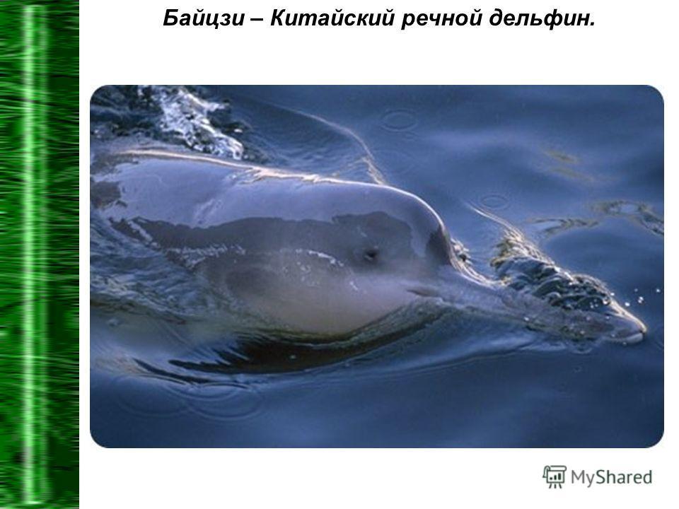 Байцзи – Китайский речной дельфин.