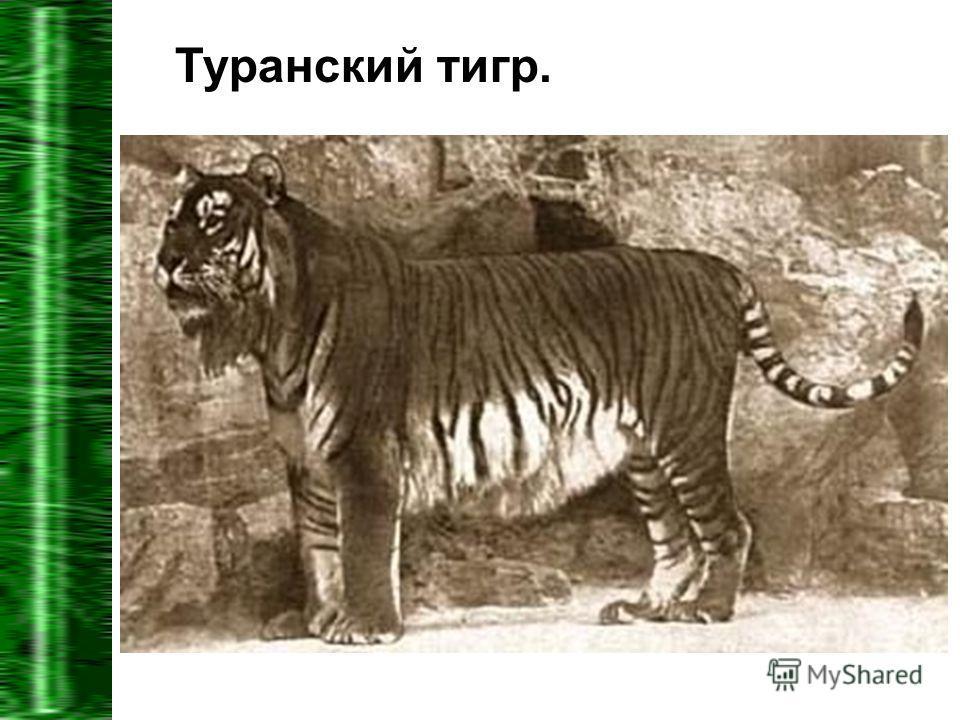Туранский тигр.