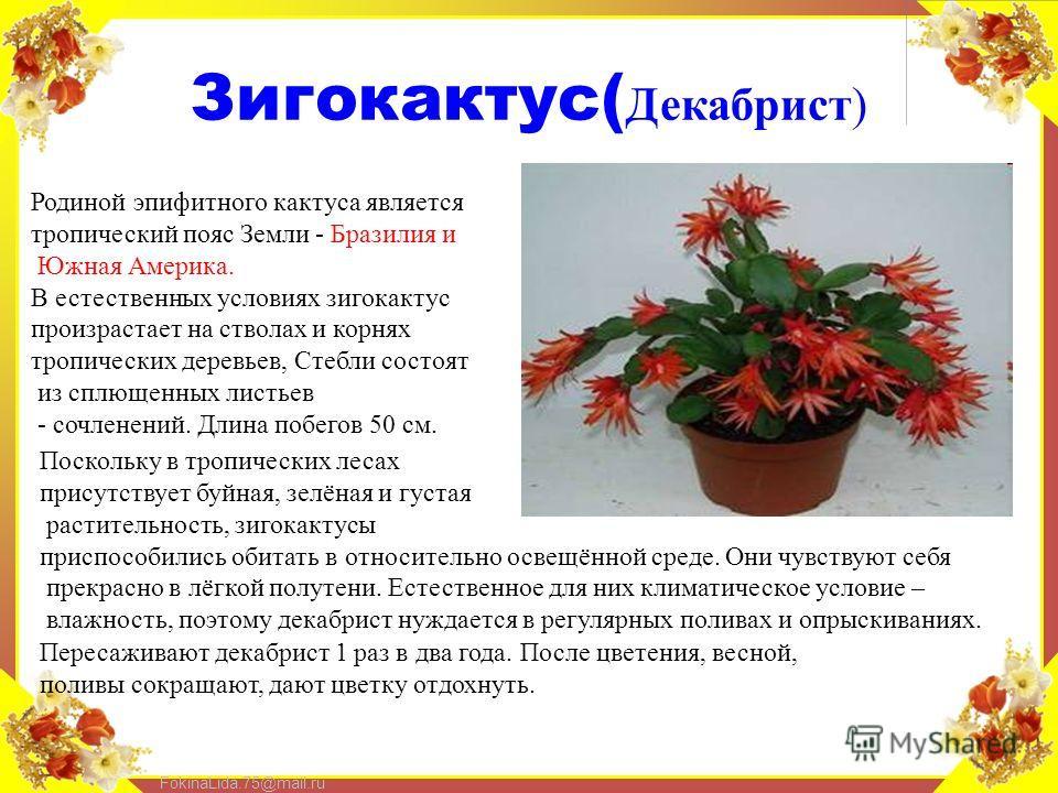 FokinaLida.75@mail.ru Зигокактус( Декабрист) Родиной эпифитного кактуса является тропический пояс Земли - Бразилия и Южная Америка. В естественных условиях зигокактус произрастает на стволах и корнях тропических деревьев, Стебли состоят из сплющенных