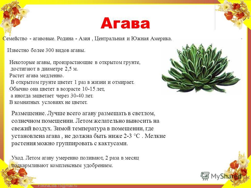 FokinaLida.75@mail.ru Агава Семейство - агавовые. Родина - Азия, Центральная и Южная Америка. Известно более 300 видов агавы. Некоторые агавы, произрастающие в открытом грунте, достигают в диаметре 2,5 м. Растет агава медленно. В открытом грунте цвет