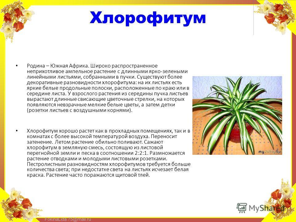 FokinaLida.75@mail.ru Хлорофитум Родина – Южная Африка. Широко распространенное неприхотливое ампельное растение с длинными ярко-зелеными линейными листьями, собранными в пучки. Существуют более декоративные разновидности хлорофитума: на их листьях е