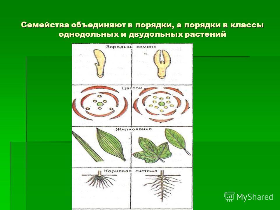Семейства объединяют в порядки, а порядки в классы однодольных и двудольных растений