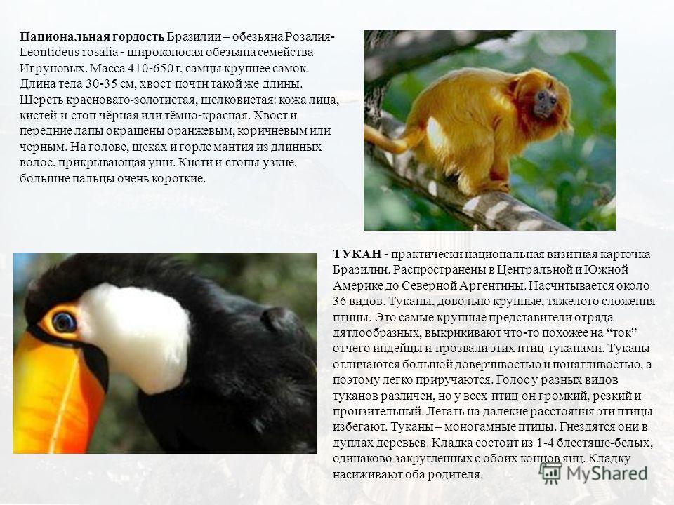 Национальная гордость Бразилии – обезьяна Розалия- Leontideus rosalia - широконосая обезьяна семейства Игруновых. Масса 410-650 г, самцы крупнее самок. Длина тела 30-35 см, хвост почти такой же длины. Шерсть красновато-золотистая, шелковистая: кожа л