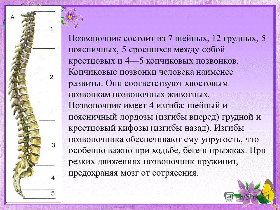 Позвоночник состоит из 7 шейных, 12 грудных, 5 поясничных, 5 сросшихся между собой крестцовых и 45 копчиковых позвонков. Копчиковые позвонки человека наименее развиты. Они соответствуют хвостовым позвонкам позвоночных животных. Позвоночник имеет 4 из