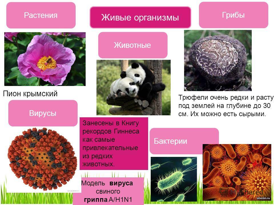Модель вируса свиного гриппа A/H1N1 Живые организмы Растения Грибы Бактерии Животные Вирусы Трюфели очень редки и растут под землей на глубине до 30 см. Их можно есть сырыми. Пион крымский Занесены в Книгу рекордов Гиннеса как самые привлекательные и