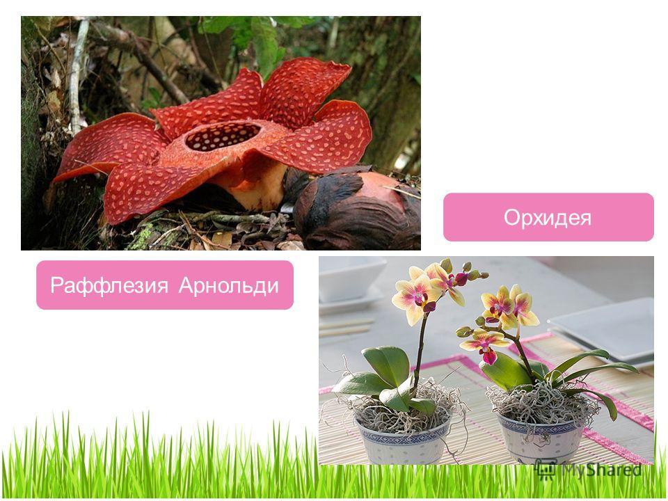 Раффлезия Арнольди Орхидея