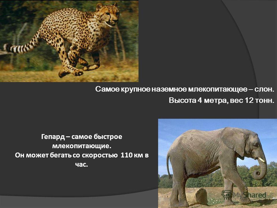 Самое крупное наземное млекопитающее – слон. Высота 4 метра, вес 12 тонн. Гепард – самое быстрое млекопитающие. Он может бегать со скоростью 110 км в час.