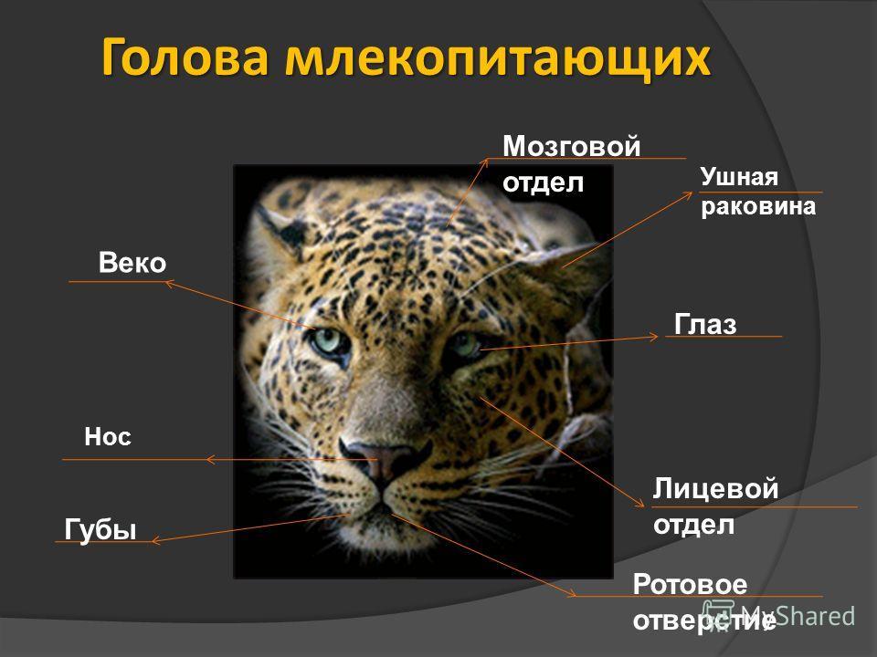 Голова млекопитающих Ушная раковина Глаз Веко Мозговой отдел Лицевой отдел Губы Нос Ротовое отверстие