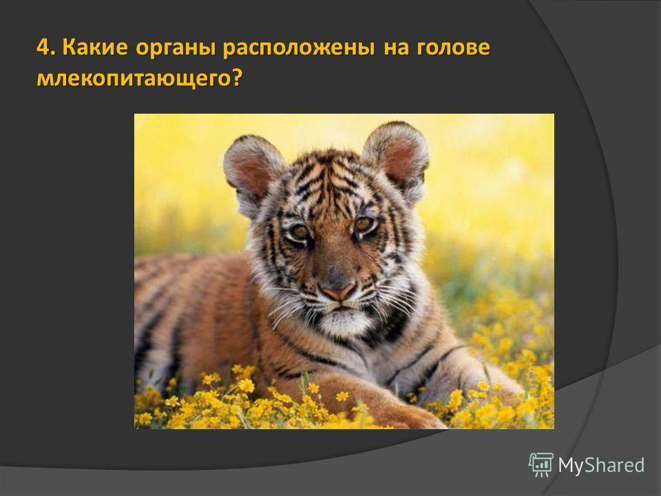 4. Какие органы расположены на голове млекопитающего?