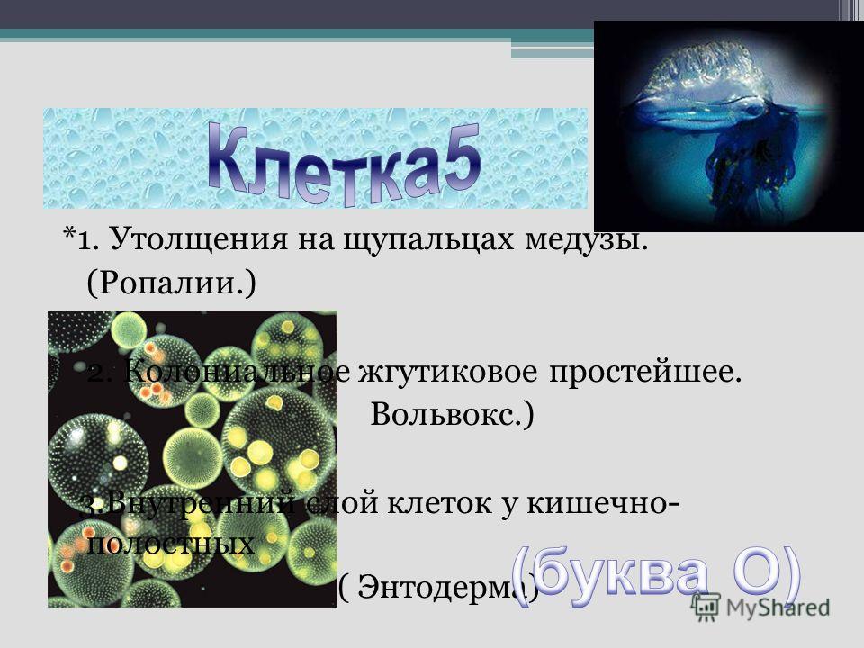 *1. Утолщения на щупальцах медузы. (Ропалии.) 2. Колониальное жгутиковое простейшее. Вольвокс.) 3.Внутренний слой клеток у кишечно- полостных ( Энтодерма)