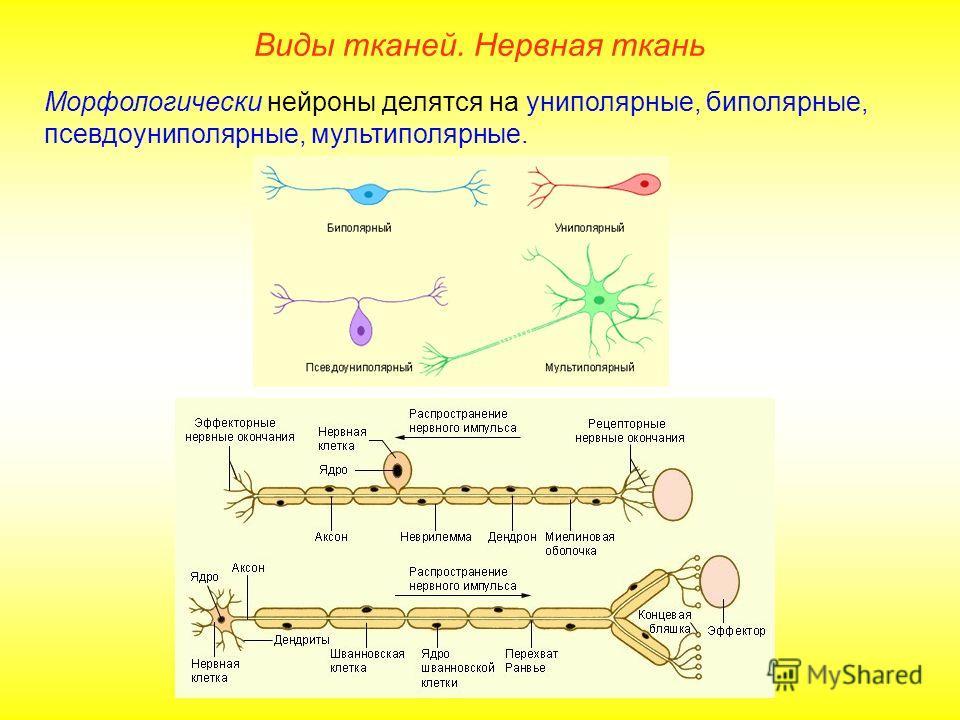 Морфологически нейроны делятся на униполярные, биполярные, псевдоуниполярные, мультиполярные. Виды тканей. Нервная ткань