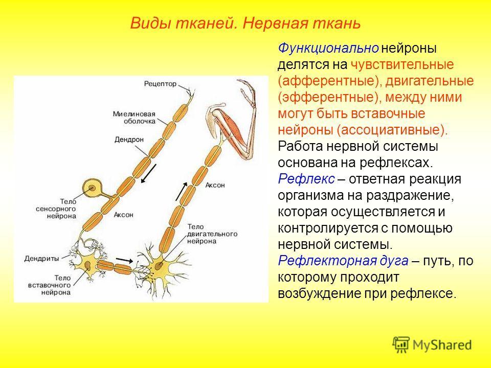 Функционально нейроны делятся на чувствительные (афферентные), двигательные (эфферентные), между ними могут быть вставочные нейроны (ассоциативные). Работа нервной системы основана на рефлексах. Рефлекс – ответная реакция организма на раздражение, ко