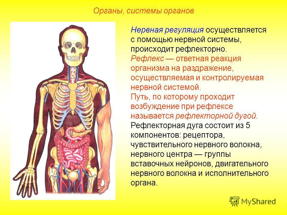 Нервная регуляция осуществляется с помощью нервной системы, происходит рефлекторно. Рефлекс ответная реакция организма на раздражение, осуществляемая и контролируемая нервной системой. Путь, по которому проходит возбуждение при рефлексе называется ре