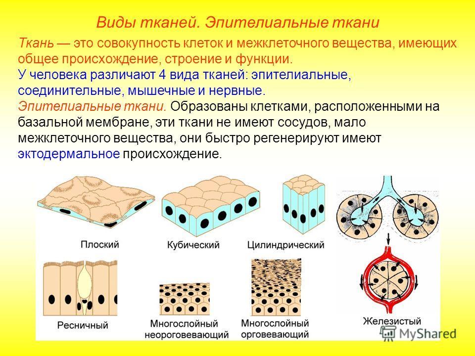 Виды тканей. Эпителиальные ткани Ткань это совокупность клеток и межклеточного вещества, имеющих общее происхождение, строение и функции. У человека различают 4 вида тканей: эпителиальные, соединительные, мышечные и нервные. Эпителиальные ткани. Обра