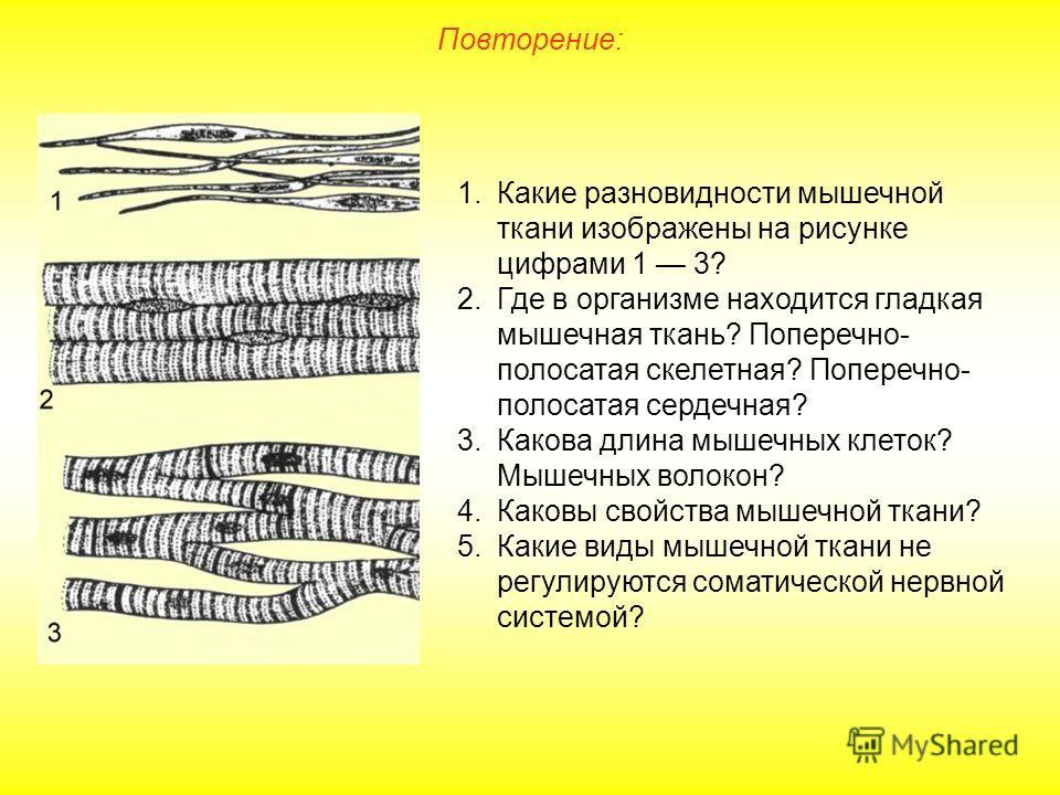 Повторение: 1.Какие разновидности мышечной ткани изображены на рисунке цифрами 1 3? 2.Где в организме находится гладкая мышечная ткань? Поперечно- полосатая скелетная? Поперечно- полосатая сердечная? 3.Какова длина мышечных клеток? Мышечных волокон?