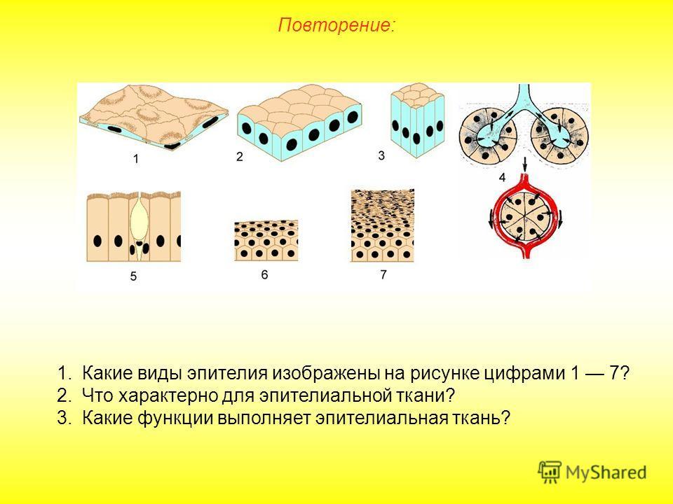 Повторение: 1.Какие виды эпителия изображены на рисунке цифрами 1 7? 2.Что характерно для эпителиальной ткани? 3.Какие функции выполняет эпителиальная ткань?