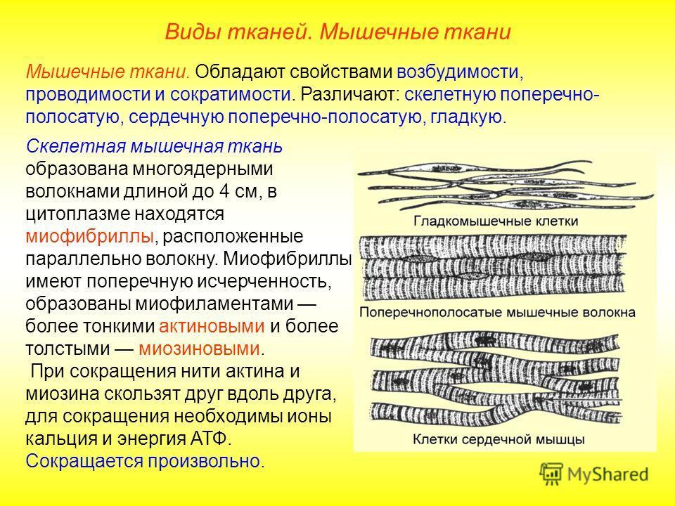 Скелетная мышечная ткань образована многоядерными волокнами длиной до 4 см, в цитоплазме находятся миофибриллы, расположенные параллельно волокну. Миофибриллы имеют поперечную исчерченность, образованы миофиламентами более тонкими актиновыми и более